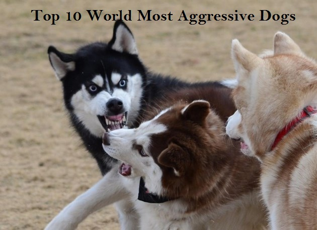 Top 10 World Most Aggressive Dogs