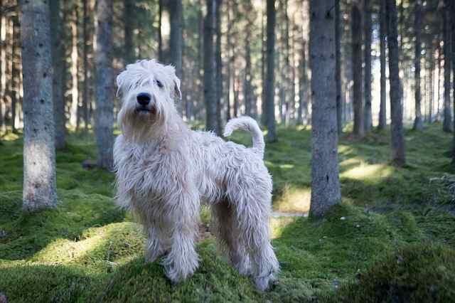 dogs Soft-coated Wheaten