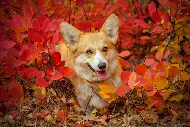 Friendly Dog Pembroke Welsh Corgi