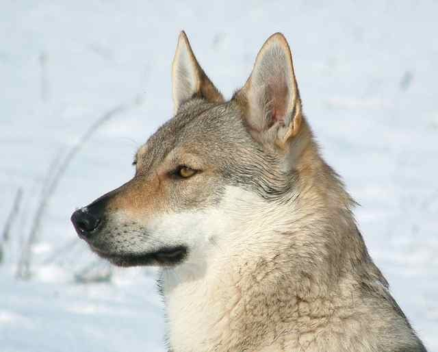 Expensive Dogs czechoslovakian wolfdog