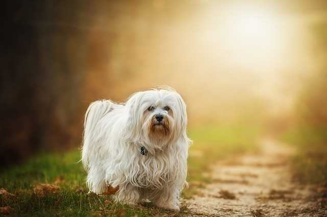 Friendly Dog The Havanese