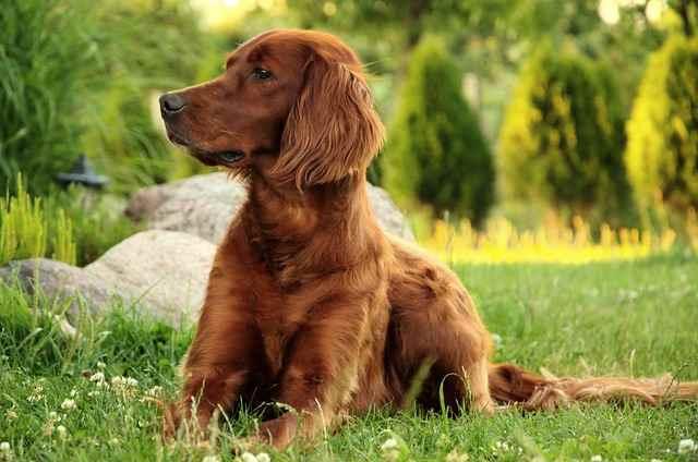 Irish setter dogs