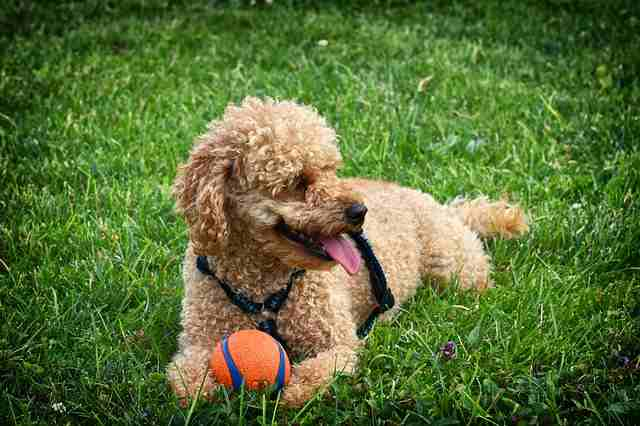 Friendly Dog Poodle